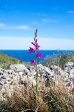 Lonely violet mountain flower against the sea and blue sky Royalty Free Stock Image