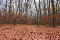Lonely walks in empty naked forest. Brown foliage on the ground. sad feelings and thoughts royalty free stock photo