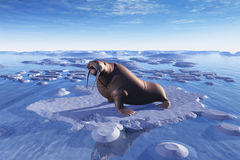Lonely Walrus Stock Images