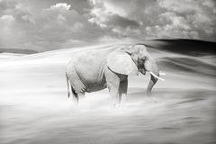 Lonely Wandering Elephant. Single elephant wandering in a sandstorm royalty free stock image