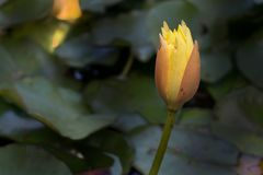 Lonely water lily Stock Photo