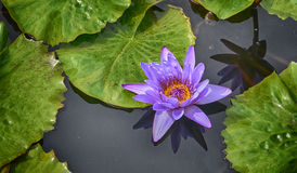 Lonely Waterlily Stock Photos