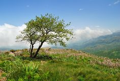 Lonely weathered tree on a hill in the mountains of Crete Royalty Free Stock Photos