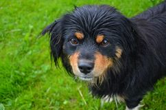 Lonely wet puppy. After summer rain wet dog looking in front of camera in garden royalty free stock photos