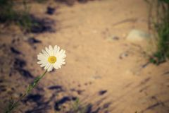 Lonely white daisy against sand with retro effect Stock Photos