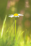 Lonely White Daisy (Leucanthemum vulgare) in a Green Agricultura Stock Photography