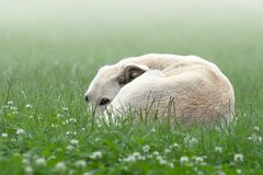 Lonely white dog in a fog Royalty Free Stock Photos