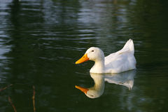 Lonely white duck floats in a pond in a summer sunny day. Stock Image