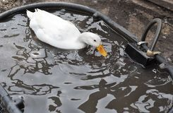 Lonely White Duck Swimming. In a plastic pond in petting zoo Stock Photography