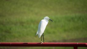 A lonely egret on the metal bar royalty free stock photos