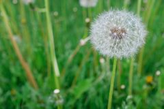 Lonely white fluffy dandelion on a background of green grass on a spring or summer day, close-up. Selective focus stock image