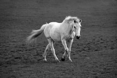 Lonely white horse Royalty Free Stock Photos