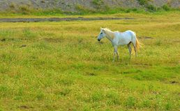 Lonely white horse on meadow Royalty Free Stock Photo