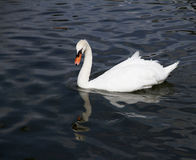 Lonely white swan in the blue lake Stock Images