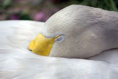 Lonely swan, close royalty free stock photography