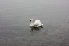 Lonely white swan floating in the cold lake. Lonely white swan floating in the cold lake Stock Image