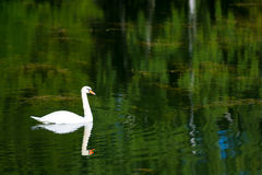 Lonely white swan Stock Photography