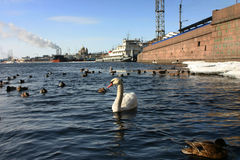 Lonely white swan floats in river navigable urban. Royalty Free Stock Photography