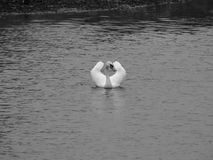 Lonely swan on the lake royalty free stock photography