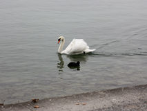 Lonely white swan landing to the cold lake. Lonely white swan landing to the cold lake Royalty Free Stock Image
