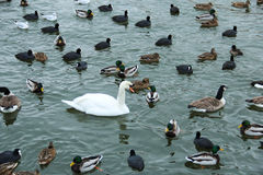 Lonely white swan among other birds in a lake. Lonely white swan among several other birds in a lake Royalty Free Stock Photo