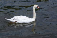 Lonely white swan in search of a girlfriend stock photos