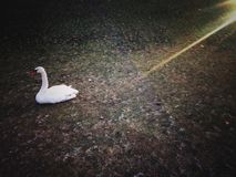 Lonely white swan Royalty Free Stock Images