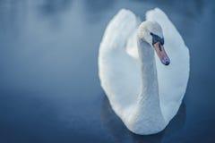 Lonely white swan swiming in the lake. Dark theme. Lonely white swan swiming in the lake Royalty Free Stock Photo