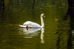 Lonely white swan swims Royalty Free Stock Photo