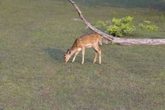 Lonely white tail deer fawn eating grass Royalty Free Stock Photo