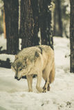 Lonely White Wolf Stock Images