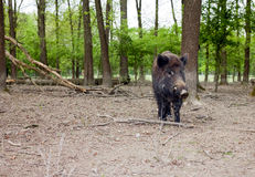 Lonely wild boar Royalty Free Stock Images