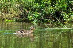 Lonely wild duck swims along the river bank on summer sunny day Stock Photography