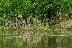 Lonely wild duck swims along the river bank on summer sunny day Royalty Free Stock Image
