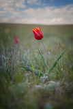 Lonely wild tulip Royalty Free Stock Image