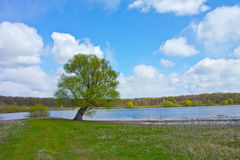 Lonely willow on the shore of the lake Royalty Free Stock Image
