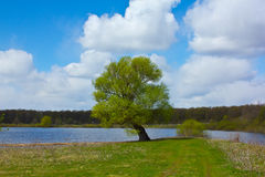 Lonely willow on the shore of the lake Royalty Free Stock Photography