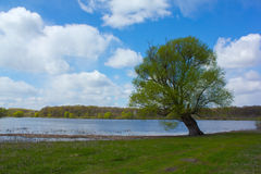 Lonely willow on the shore of the lake Stock Photos