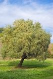 Lonely willow tree Stock Photo