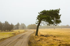 Windswept pine tree. Lonely windswept pinetree at the side of a dirt road stock image