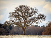 The Lonely Winter Tree Royalty Free Stock Photo