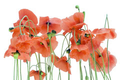 Lonely withering poppies Royalty Free Stock Photography