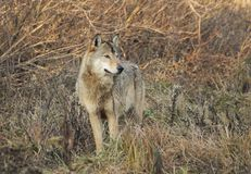 Lonely wolf. A watchful alpha on the field Royalty Free Stock Images