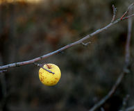 Lonely yellow apple on a branch Royalty Free Stock Photos