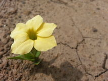 Lonely Yellow Flower above the Dry, Cracked Earth Royalty Free Stock Photo