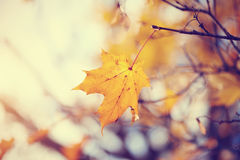 Lonely yellow-gold maple leaf late fall. Royalty Free Stock Photography