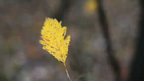 Lonely yellow leaf stock video