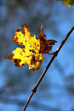 Lonely yellow leaf on a tree branch against a bright blue sky. The concept of cold loneliness- lonely yellow leaf on a tree branch against a bright blue sky Stock Photo