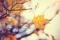 Lonely yellow maple leaf late fall. Royalty Free Stock Photography