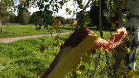 Lonely yellow scarf blowing in wind on the tree. Autumn background slow motion stock footage